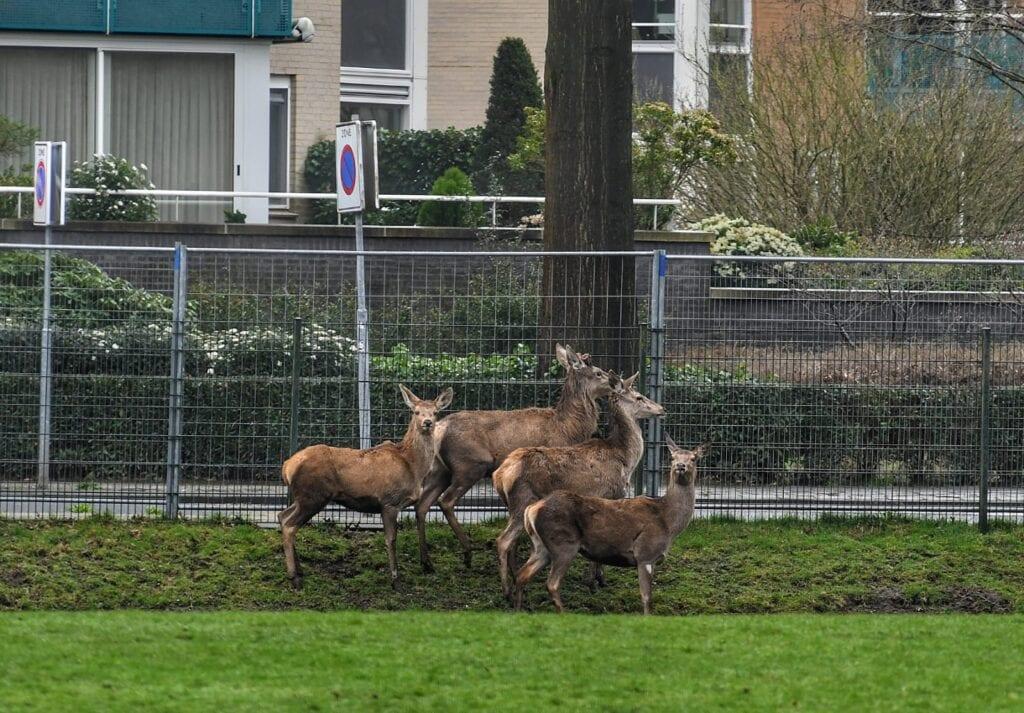 Nieuwe herten in Almelo