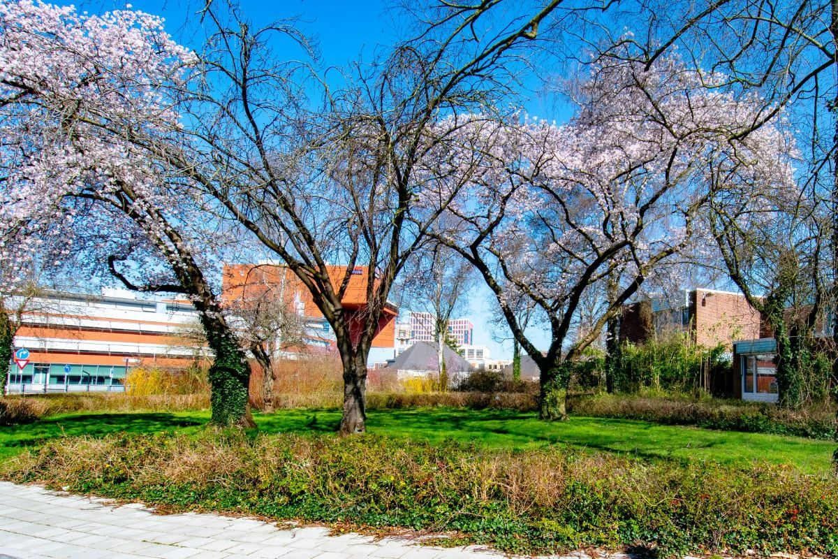 Bloesem aan de bomen in Almelo