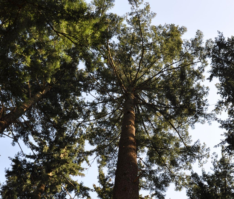 hoogste boom van nederland