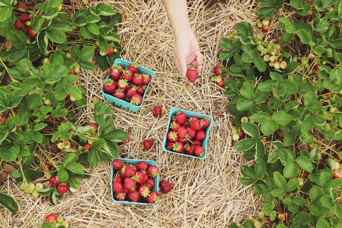 Aardbeien aanbiedingen