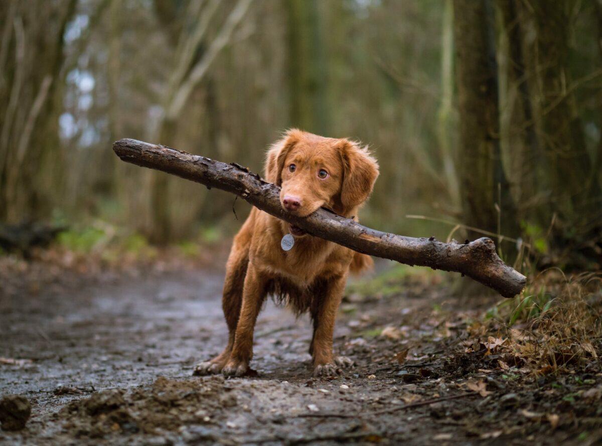 Hond met stok in bos