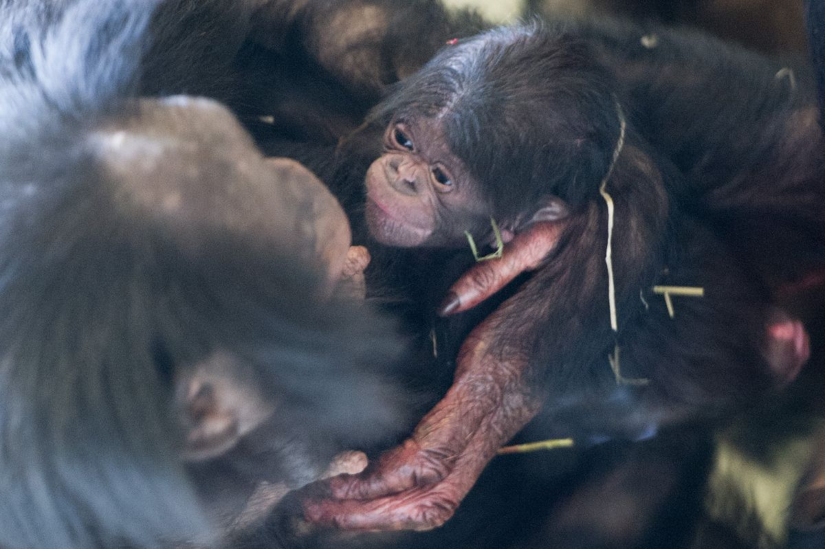 Bonobo apenheul