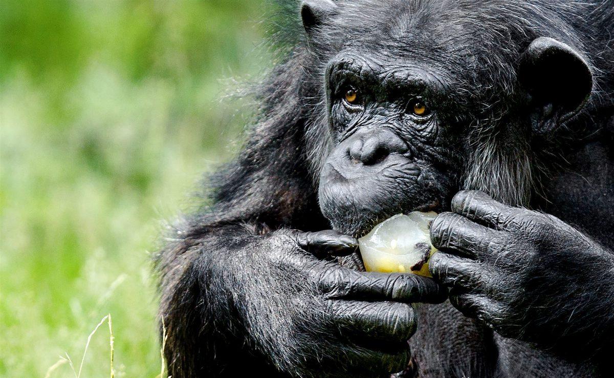 Chimpansee ANP