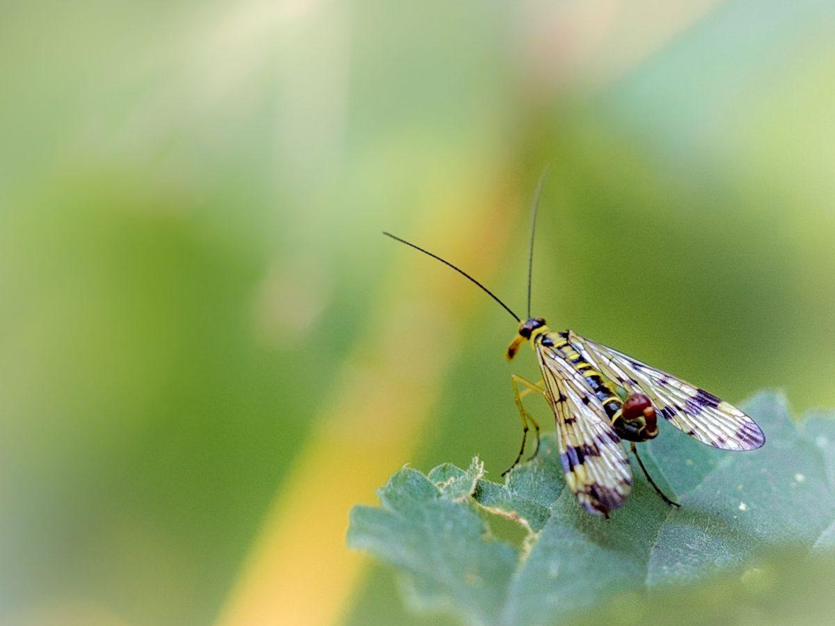 Een schorpioenvliegje
