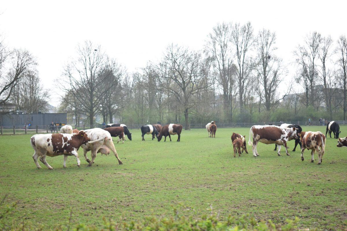 De koeien van Stadsboerderij Presikhaaf. Foto: indebuurt Arnhem