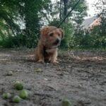 Groene eikels kunnen gevaarlijk zijn voor honden. Foto: indebuurt