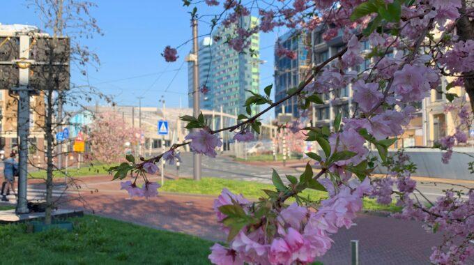 bloesem arnhem voorjaar