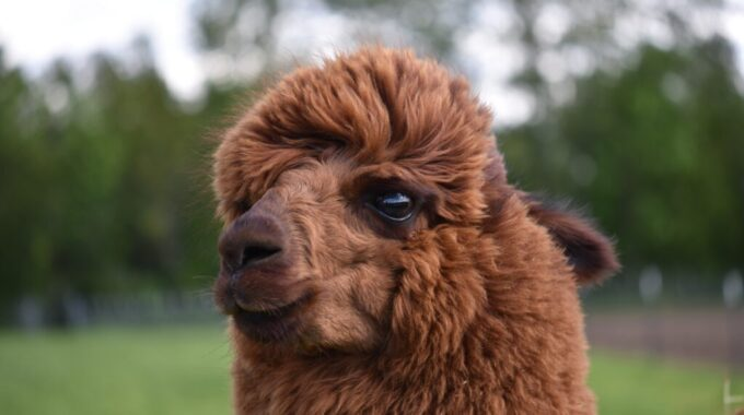 alpaca arnhem