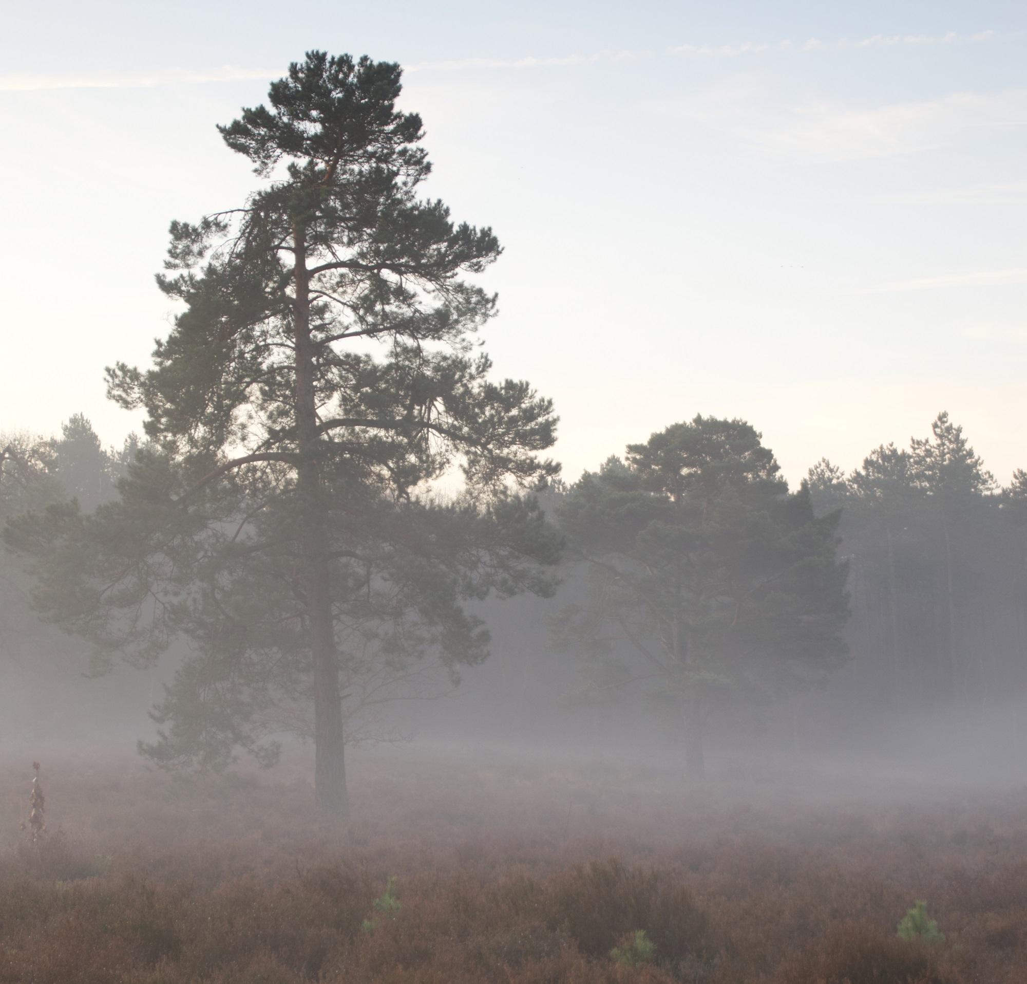 natuur bergen op zoom dauw heide boom bos mist mooi