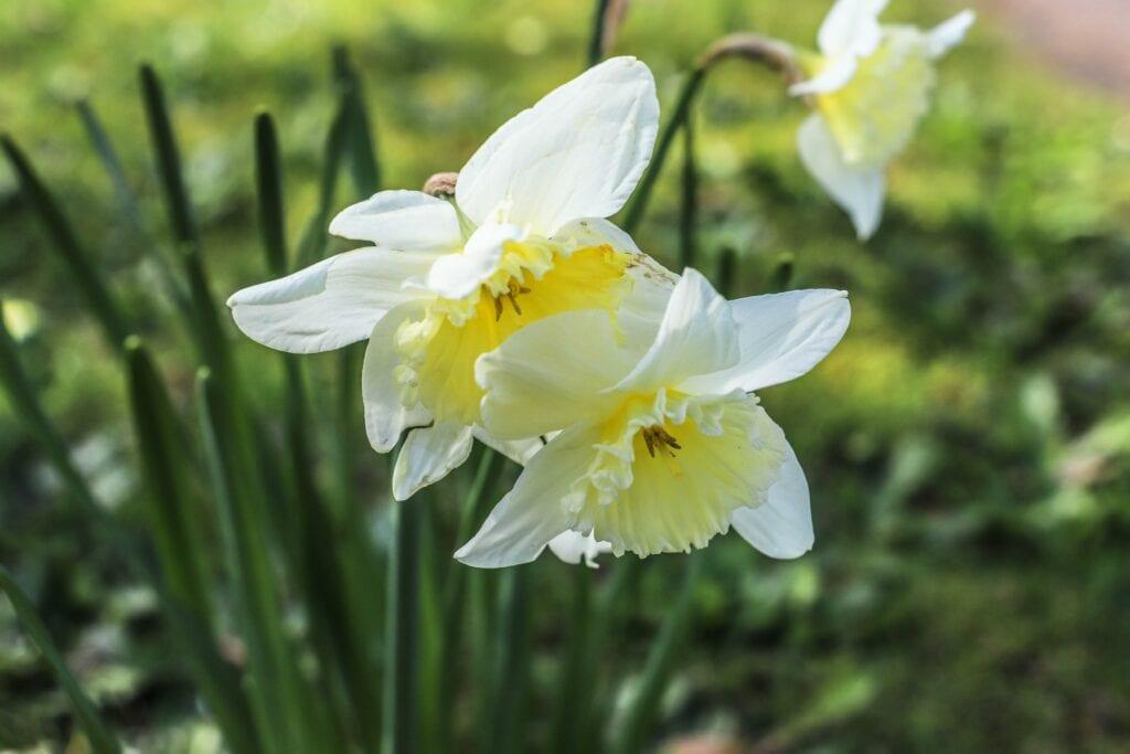 bloem lente voorjaar narcis