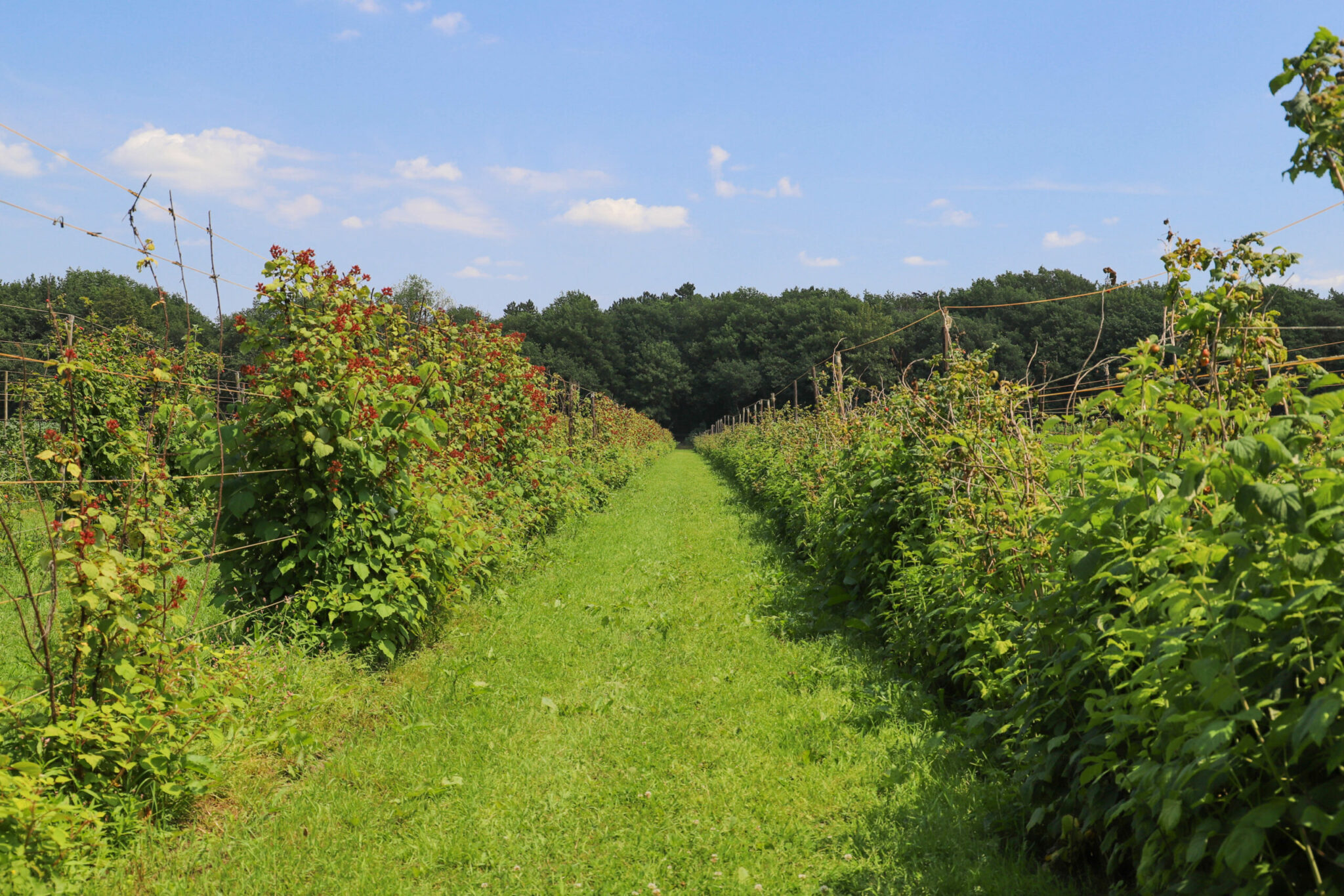 kers kersen franken fruit fruitboom boer teler
