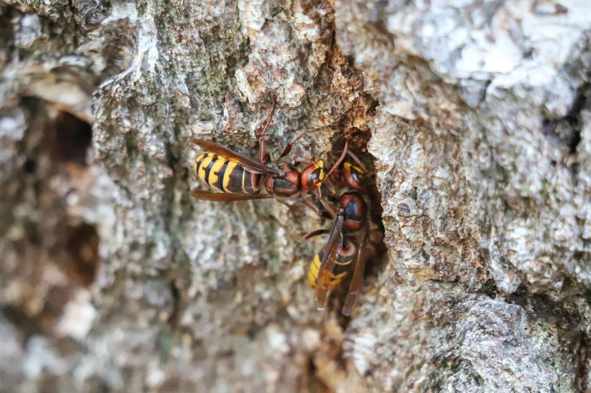 pas op wespen wesp insect insecten