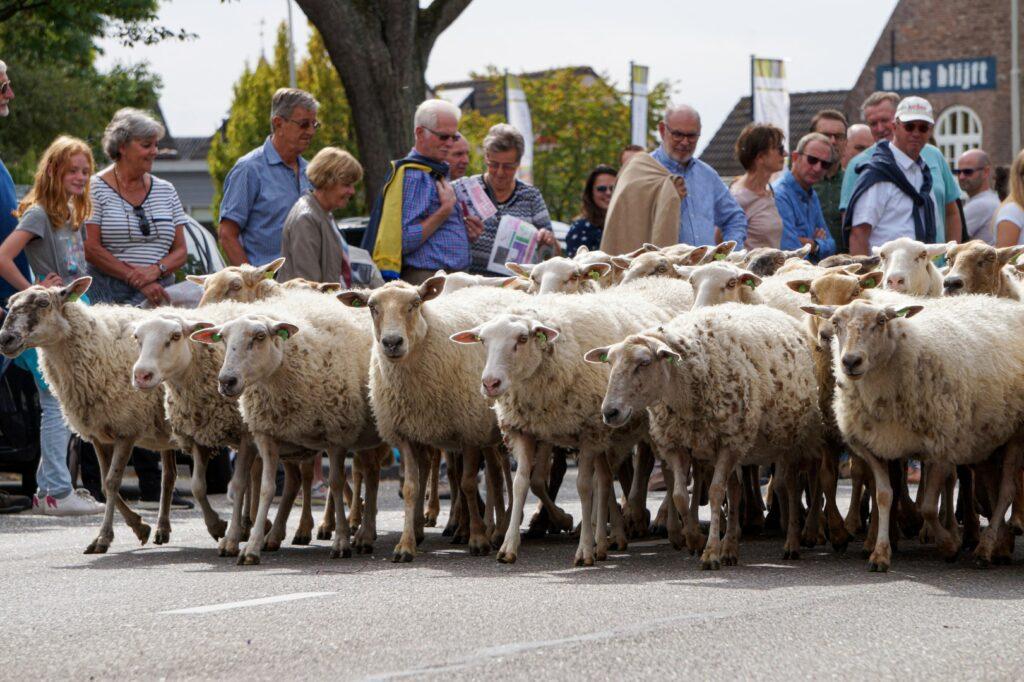 brabantstoet 2018 optocht schaap schapen