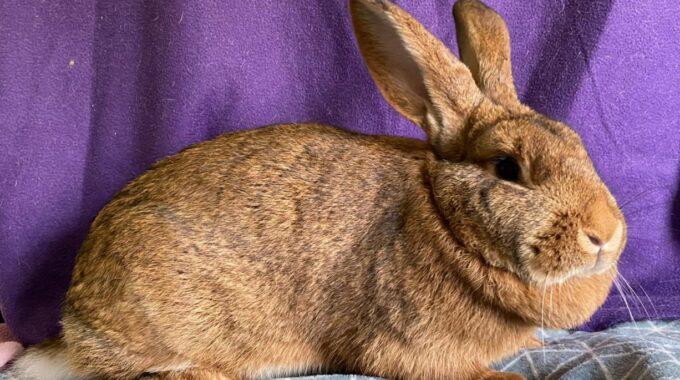 vlaamse reus konijn konijnen dierenasiel arduin huisdier huisdieren dier dieren