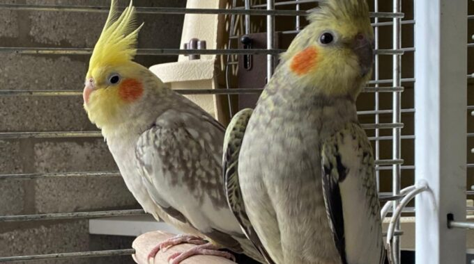 Valkparkieten Dolly en Polly