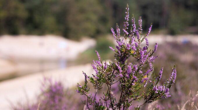 natuur bergse heide water meer boom bomen zand strand bloem plant paars