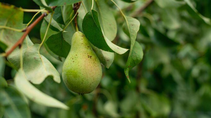 perenboompjes