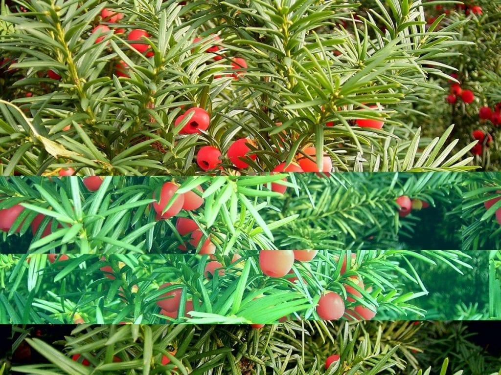 Taxus snoeiafval