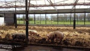 Varkens bij Hoeve Biesland