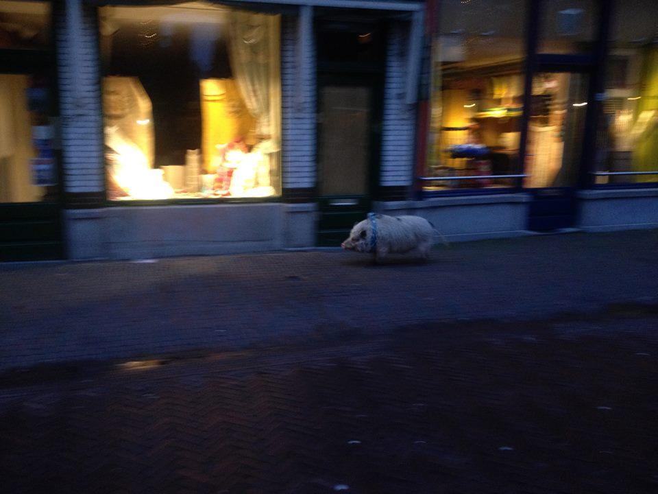 Bob het varken. Foto: Nu in Delft