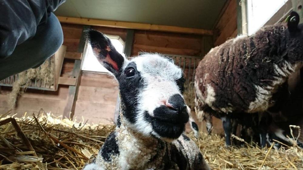 schapen tanthof