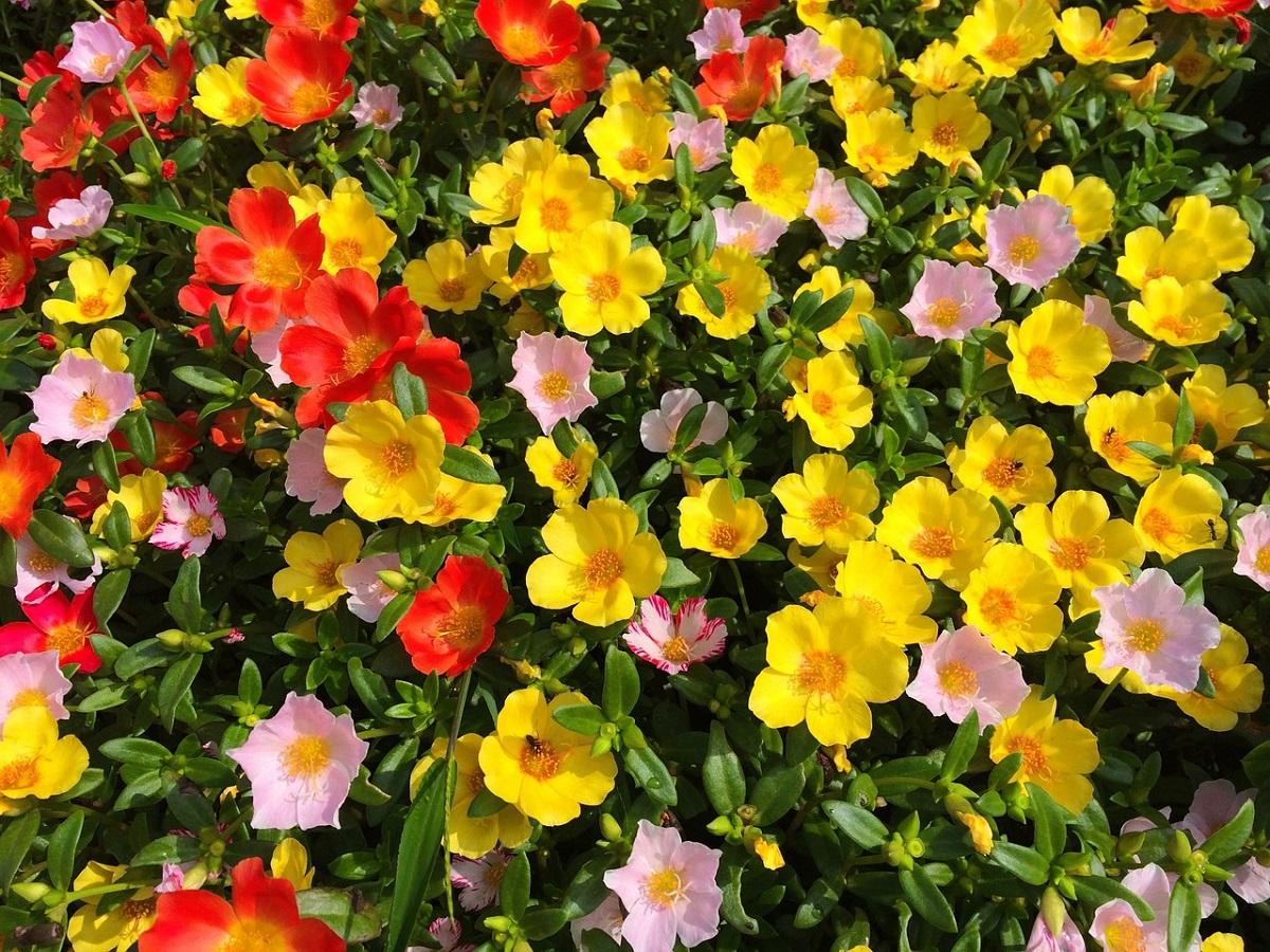 zomerbloeiers-zomer-peer-tuincentrum-doetinchem-portulaca