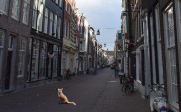 Stadsvossen Dordrecht vos binnenstad