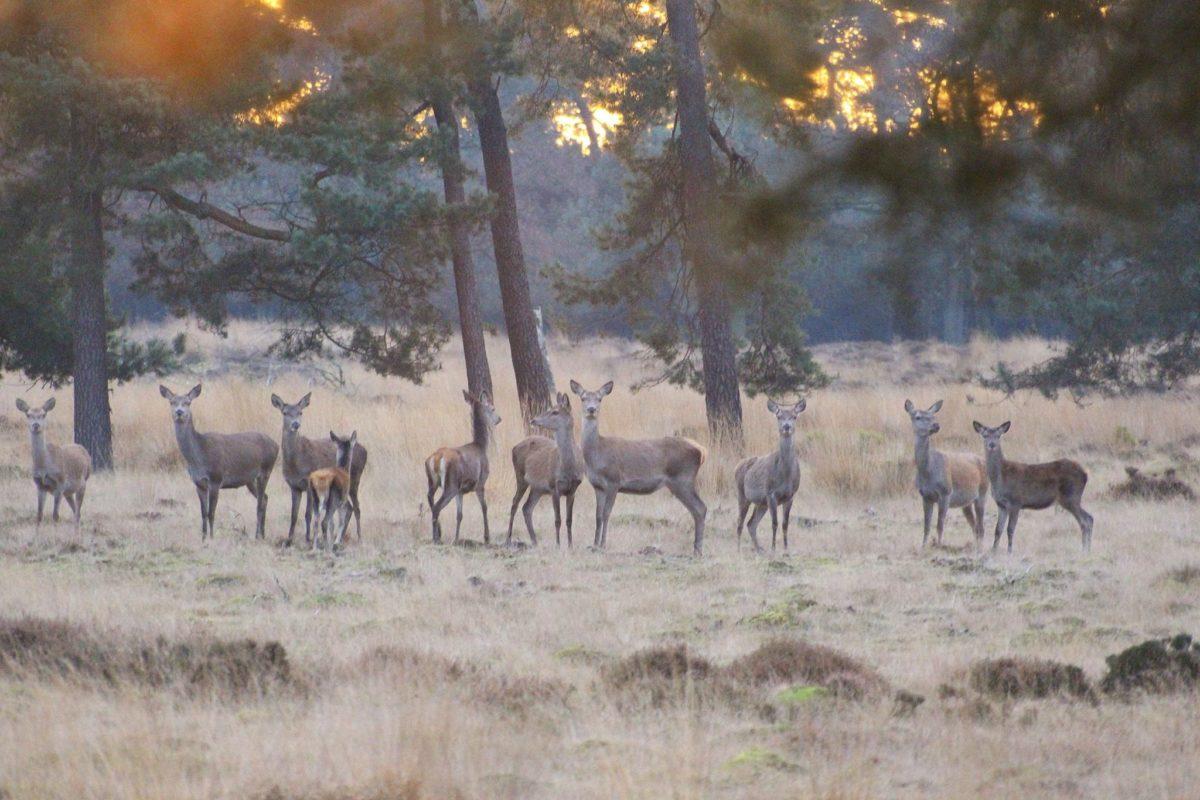 Herten in Deelerwoud