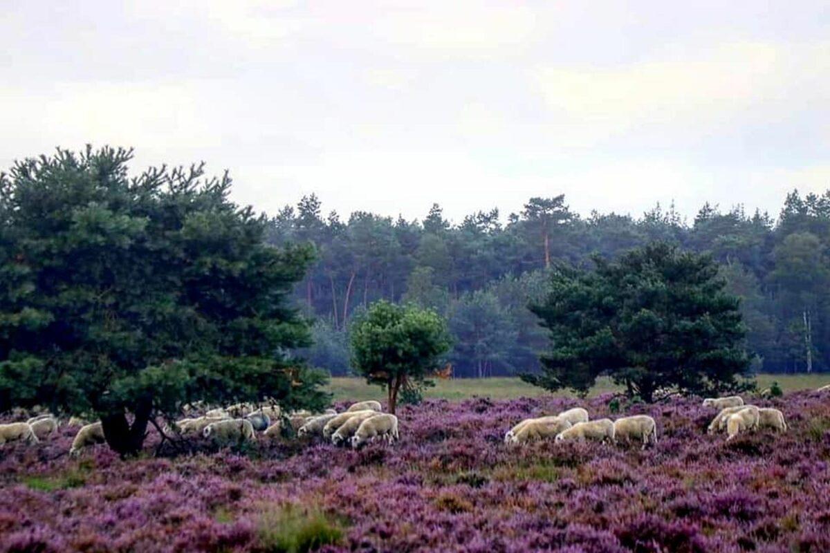 De paarse heide trekt veel wandelaars naar Ede. Foto Herman van Alfen