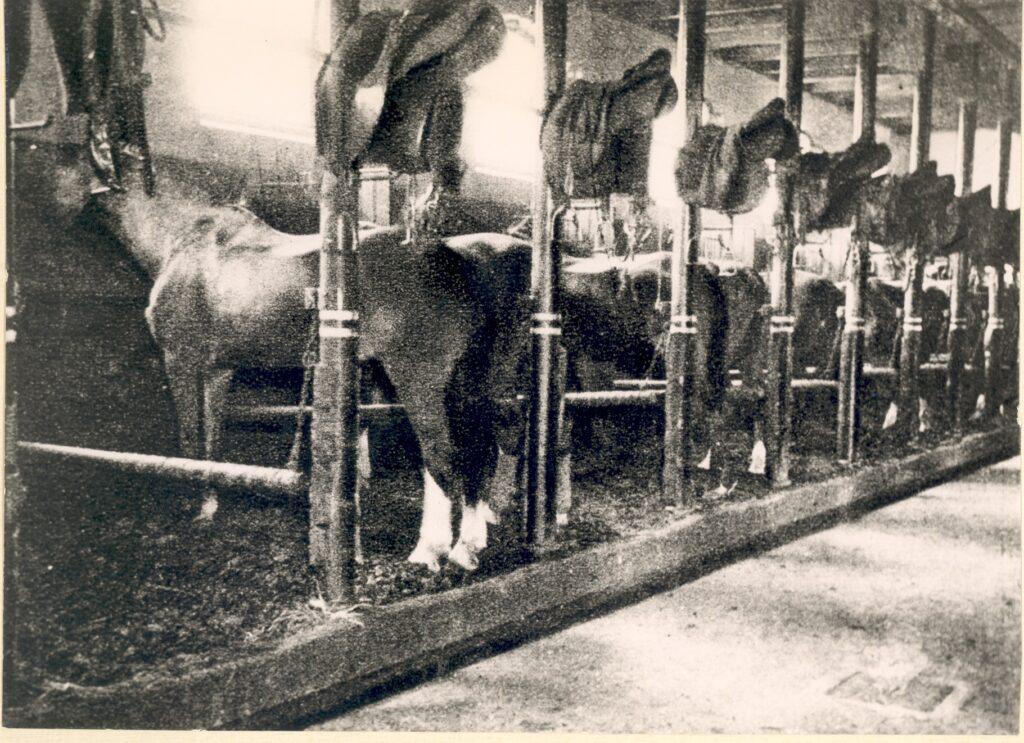Paarden van de artillerie in de stallen