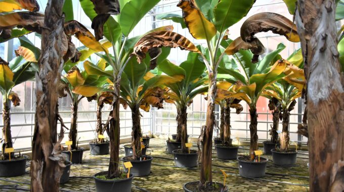Bananenkas Nederbanaan