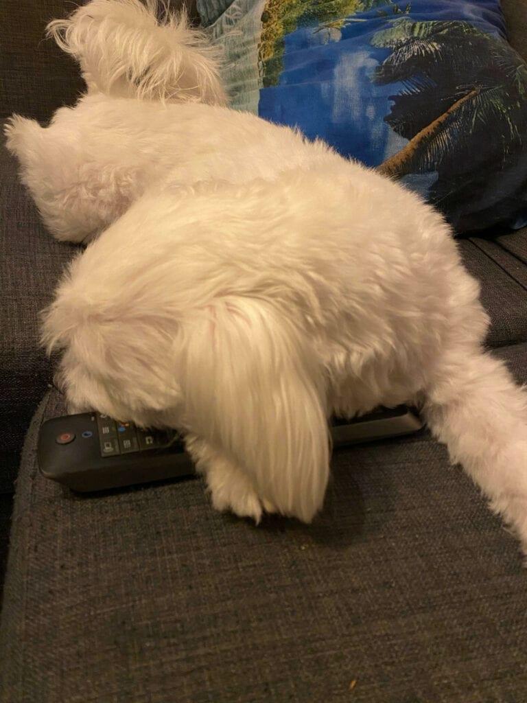 Hond corona