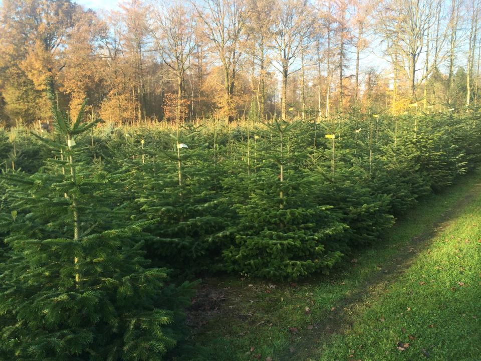 kerstboom-kwekerij-vije