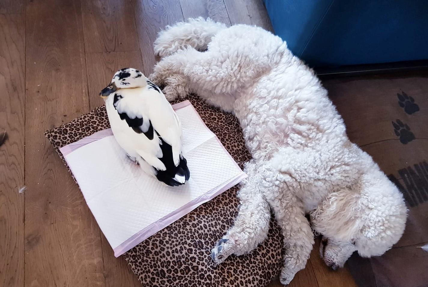 eend met hond