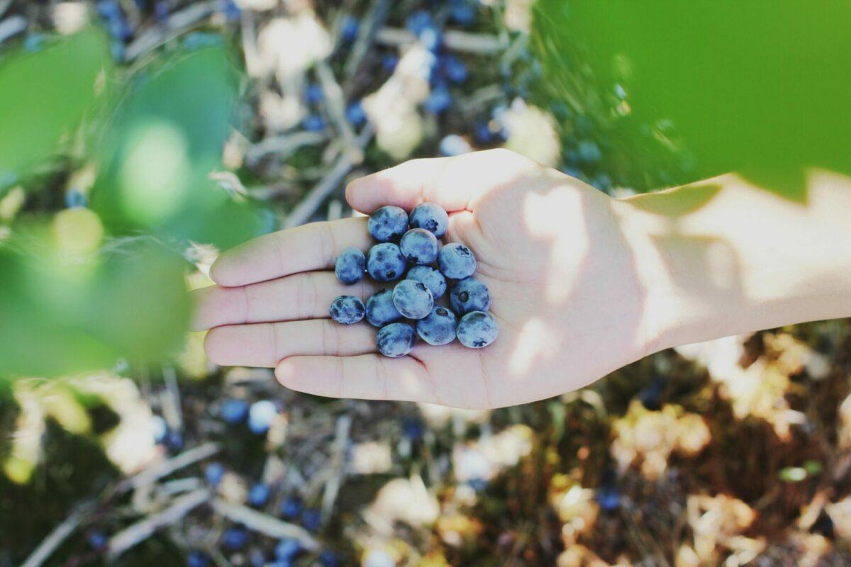 blauwe bessen plukken