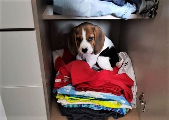 Matzy de beagle