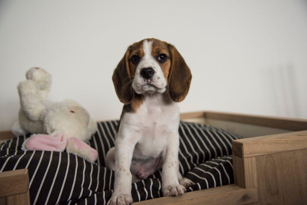 beagle matzy