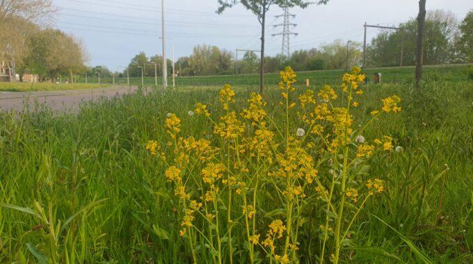 raapzaad_gele bloemen