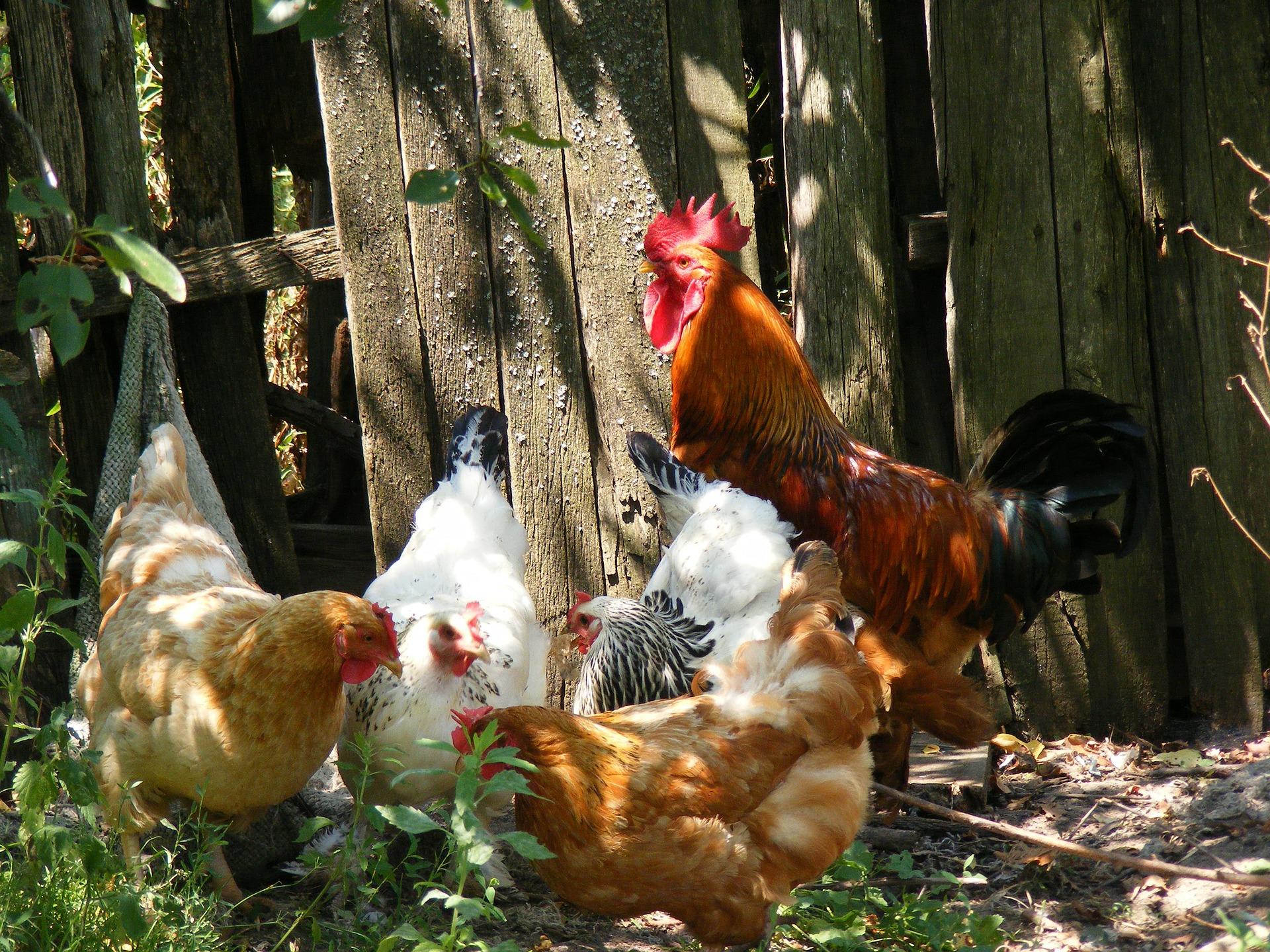kippen houden Groningen