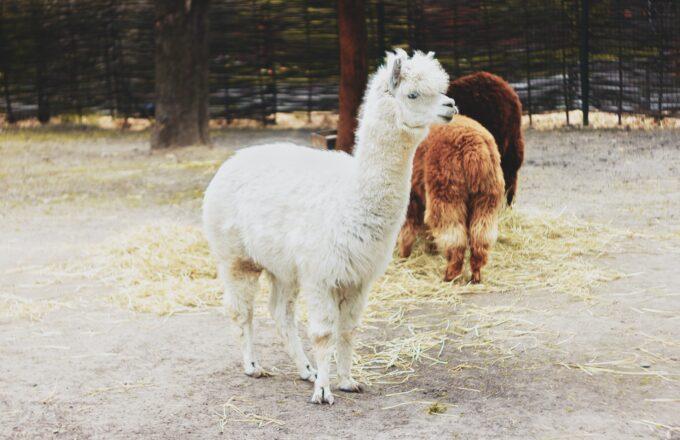 alpaca groningen