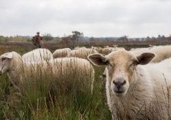 foto-kudde-schapen-bron-pieter-cox
