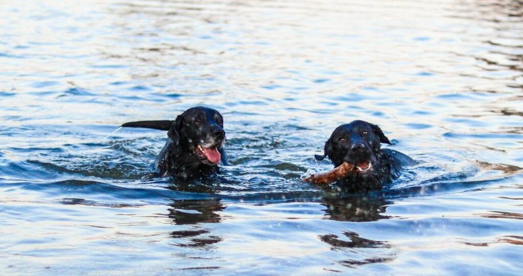 Hond zwemmen Helmond