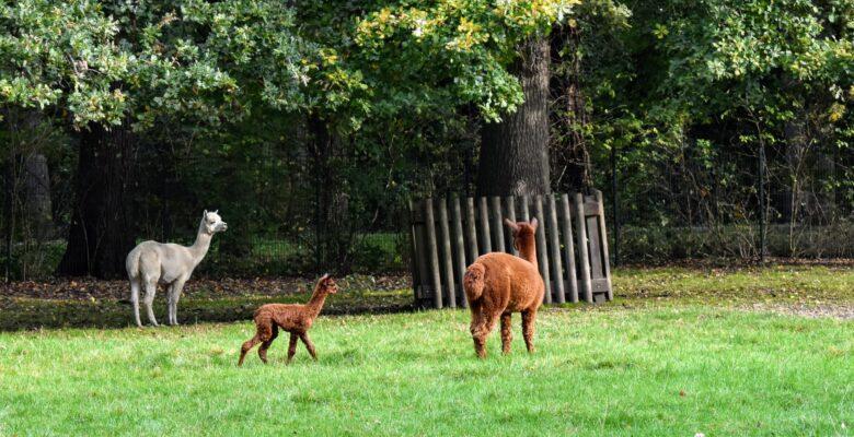Baby alpaca geboren in Helmond (1)