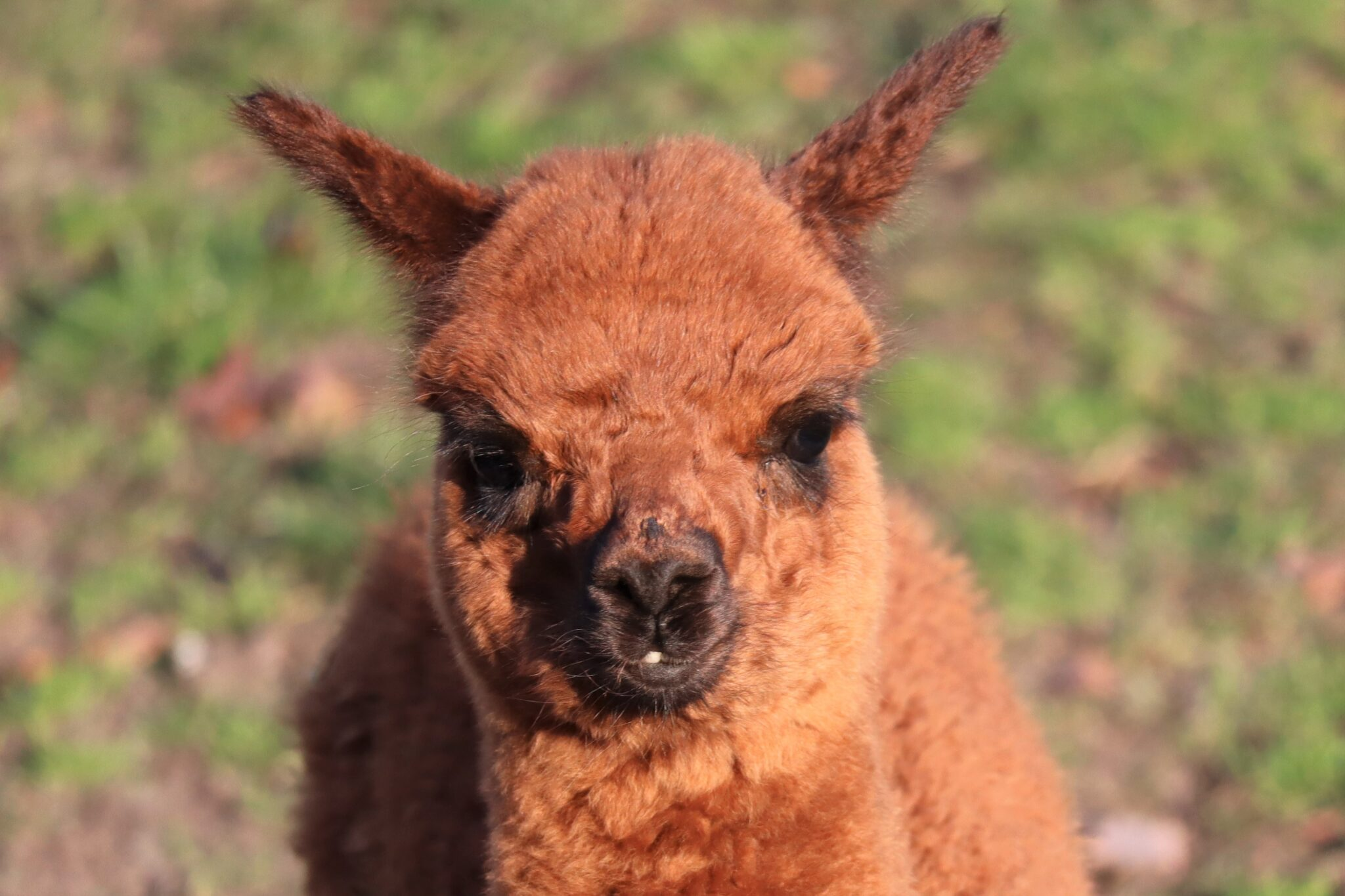 alpaca Dierenparken Helmond 001
