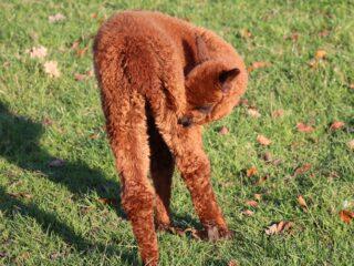 alpaca Dierenparken Helmond 002