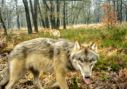 wolvenfamilie wolf wolven veluwe harderwijk ermelo putten