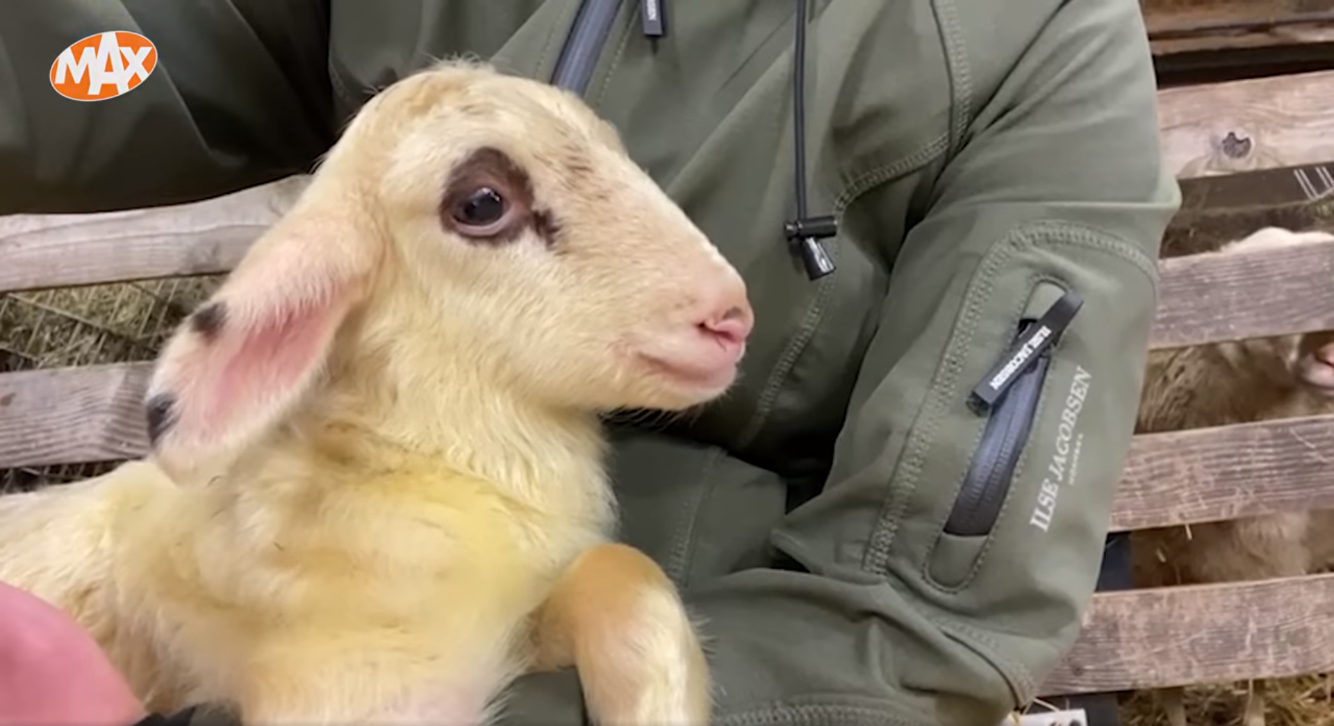 carrie ten napel ermelo lammetje adopteren schaapskooi schapedrift omroep max