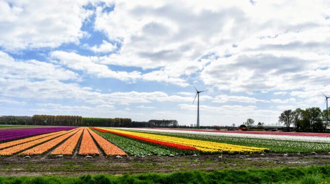 Tulpenroute door de polder