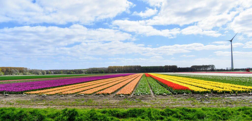 Tulpenroute door de polder flevoland