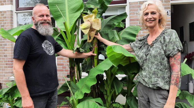 bananenplant in bloei harderwijk ermelo putten deventer